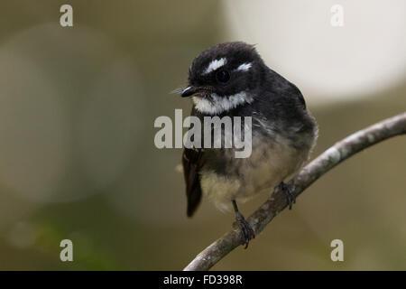 Grey Fantail (Rhipidura albiscapa keasti) - Stock Photo