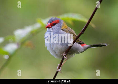 Red-browed Firetail (Neochmia temporalis) - Stock Photo