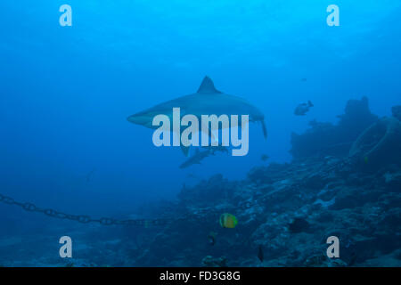 Silvertip shark (Carcharhinus albimarginatus) at The Bistro Dive site in Fiji. - Stock Photo