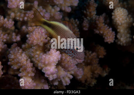Freakled hawkfish (Paracirrhites forsteri) sits on some Acropora coral on a Fijian reef. - Stock Photo