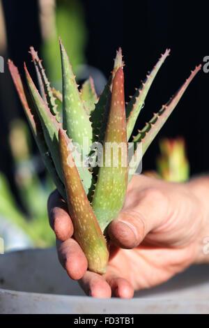 Right Hand holding aloe vera plant - Stock Photo