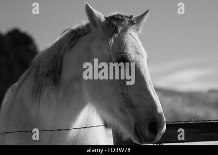 A couple of gray horses in a snowy field in Aspen, Colorado - Stock Photo