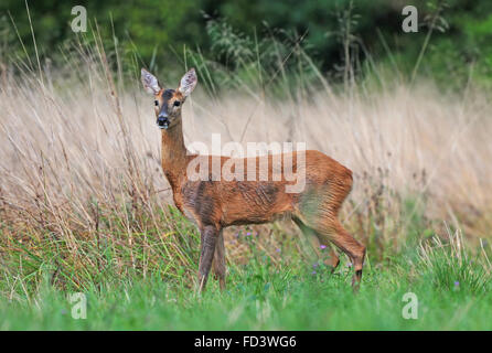 Female roe deer in a field - Stock Photo