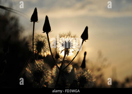 Dandelion silhouette at sunset - Stock Photo