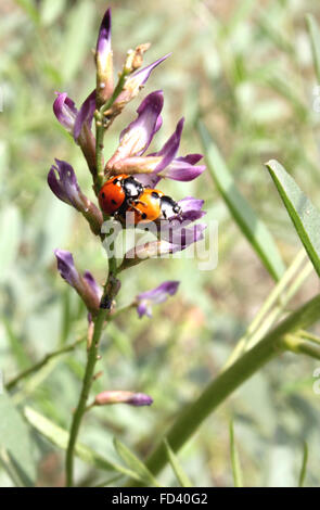 Glycyrrhiza glabra, liquorice, perennial herb with pinnate compound leaves, white flowers purple tipped, roots yield - Stock Photo