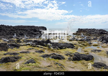 Seagulls and seaweed on the basalt rock formations on the Back Beach near Wyalup Rocky Point at Bunbury, Western - Stock Photo