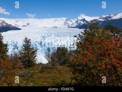 Moreno glacier with fire bush shrub, Patagonia, Argentina - Stock Photo