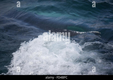 Humpback Whale Spraying While Swimming In Sea - Stock Photo