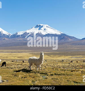 landscape of the Andes Mountains, with snow-covered volcano in the background, and a group of llamas grazing in - Stock Photo