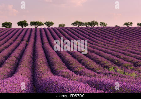 Lavender field with rows of blooming lavender flowers in soft pink morning light, Provence. Colorful landscape - Stock Photo
