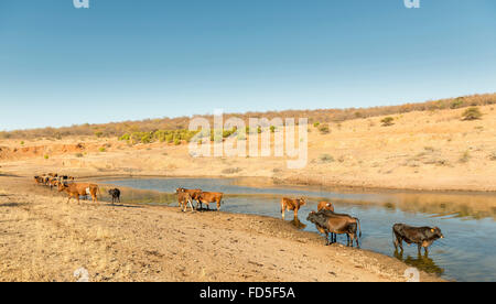 Beef cattle graze near a watering hole in dry and hot conditions in Botswana, Africa - Stock Photo