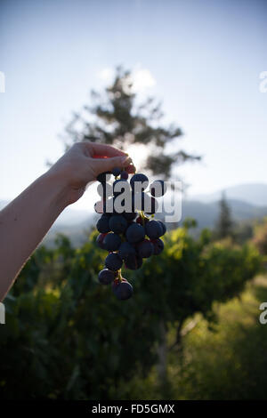 Cropped Image Of Person Holding Bunch Of Blue Grapes At Vineyard - Stock Photo