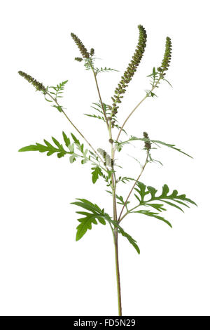 Common Ragweed plant on white background - Stock Photo