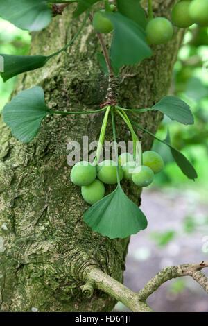 Ginkgo biloba seeds on the tree - Stock Photo