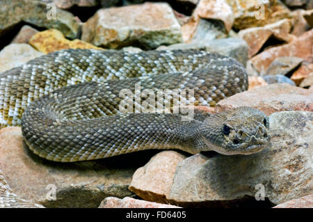 Red diamond rattlesnake / red diamond-backed rattlesnake (Crotalus ruber / Crotalus adamanteus atrox), native to - Stock Photo