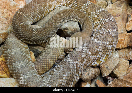 Red diamond rattlesnake / red diamond-backed rattlesnake (Crotalus ruber / Crotalus adamanteus atrox), native to - Stock Photo