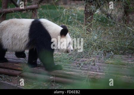 Side View Of A Panda Walking - Stock Photo