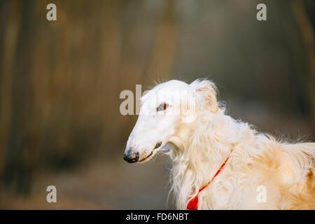 White Russian Hunting Dog, Sighthound, Russkaya Psovaya Borzaya, Psovoi. Close Up Portrait - Stock Photo