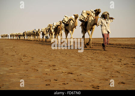 Camel caravans carrying salt through the desert in the Danakil depression, Afar Region, Ethiopia - Stock Photo