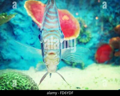 Close-Up Of Discus Fish In Aquarium - Stock Photo