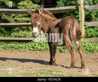Jenny Miniature Donkey - Stock Photo