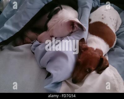 Two Dogs Sleeping On Blanket - Stock Photo