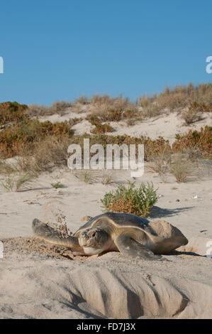 Australian flatback sea turtle (Natator depressus), endemic, female covering nest, Western Australia - Stock Photo