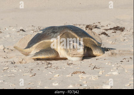 Australian flatback sea turtle (Natator depressus), endemic, female returning to sea after nesting, Western Australia - Stock Photo