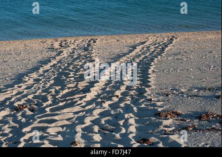 nesting tracks of Australian flatback sea turtle ( Natator depressus ), endemic, Western Australia - Stock Photo
