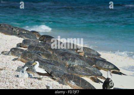 masked boobies and green sea turtles, Chelonia mydas, basking on beach, French Frigate Shoals, Northwestern Hawaiian - Stock Photo
