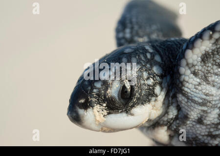 leatherback sea turtle hatchling, showing temporary egg tooth or caruncle on snout used to pierce egg shell during - Stock Photo