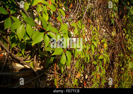 Virginia creeper (Parthenocissus quinquefolia) has palmately compound leaves. vine growing on wall in Mexico. - Stock Photo