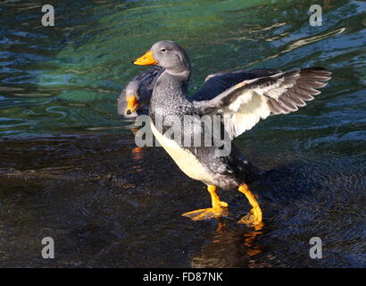 Male South American Fuegian Steamer Duck flapping his wings. A.k.a. Magellanic Flightless Steamer Duck (Tachyeres - Stock Photo