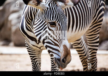 Close-up of Grevy's Zebra (Equus grevyi) - Stock Photo