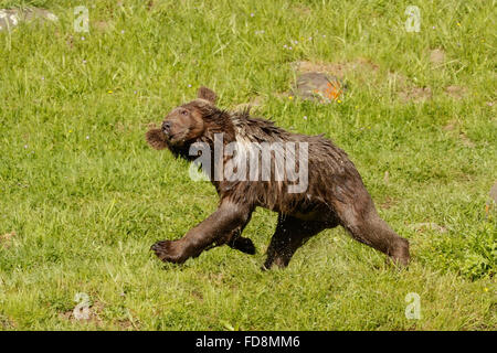 Young Grizzly bear (Ursus arctos) shaking water off after swimming - Stock Photo