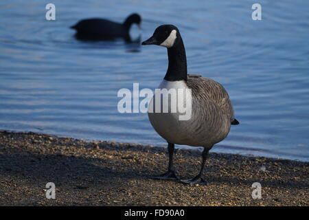 London,England, UK : 28th Jan 2016 : Greylag goose at Leytonstone, Epping Forest in London. Photo by See Li - Stock Photo