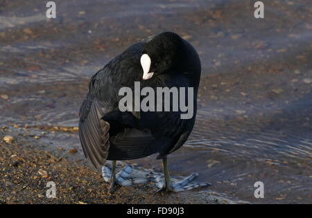 London,England, UK : 28th Jan 2016 : Tufted Duck at Leytonstone, Epping Forest in London. Photo by See Li - Stock Photo
