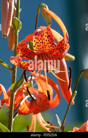 Tiger Lilies with stamens photographed at the Olympia Farmers Market gardens in Olympia, WA. - Stock Photo