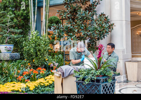 Lovely ... Vegas Nevada Usa; Gardeners Maintaining The Flower Beds At The Gardens  In The Bellagio Casino And Resort In Las