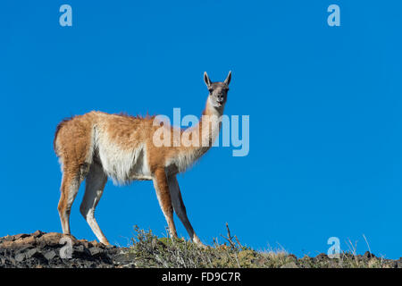Guanaco (Lama guanicoe) on a ridge, Torres del Paine National Park, Chilean Patagonia, Chile - Stock Photo