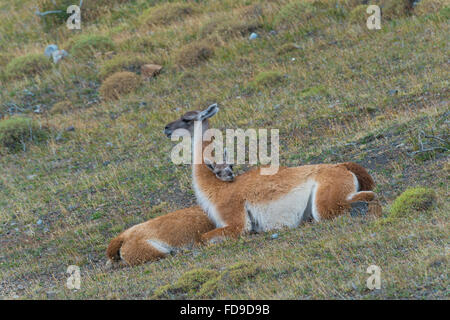 Young Guanaco (Lama guanicoe) lying on the ground with its head on the back of its mother, Torres del Paine National - Stock Photo