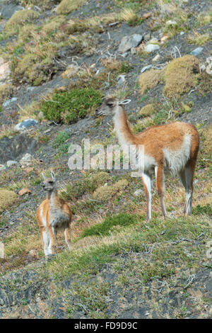 Adult Guanaco (Lama guanicoe) with its young, Torres del Paine National Park, Chilean Patagonia, Chile - Stock Photo