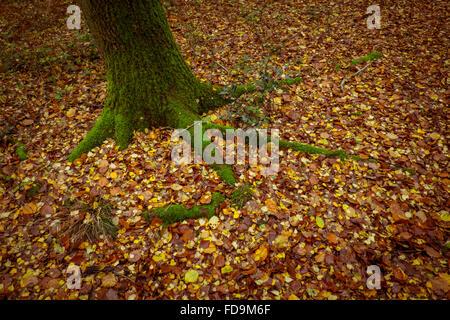 Walkways through Beech tress in an Autumn Forest - Stock Photo
