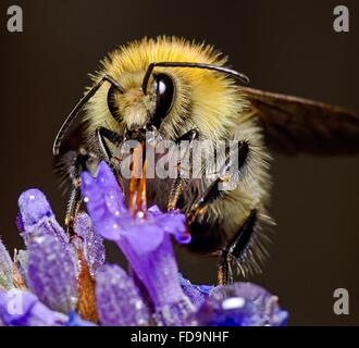 Close-Up Of Honey Bee Collecting Nectar From Flower - Stock Photo