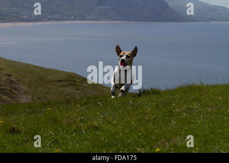With the sea in the background Pip plays ball on the Great Orme over Llandudno - Stock Photo