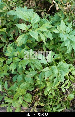 Love Parsley Levisticum officinale plant in vegetable garden, Sweden. - Stock Photo
