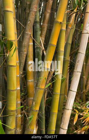 Mauritius, Mahebourg, large bamboo in Biscuiterie Rault Manioc Tapioca Biscuit factory garden - Stock Photo