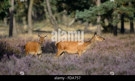 Two red deer does in blooming heather - Stock Photo