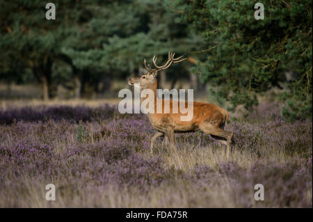 Red der stag with small antlers, in a field with blooming purple heather - Stock Photo