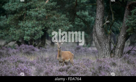 Red der stag with small velvet antlers, in a field with blooming purple heather - Stock Photo